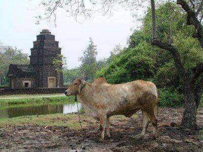Une vache devant un temple.