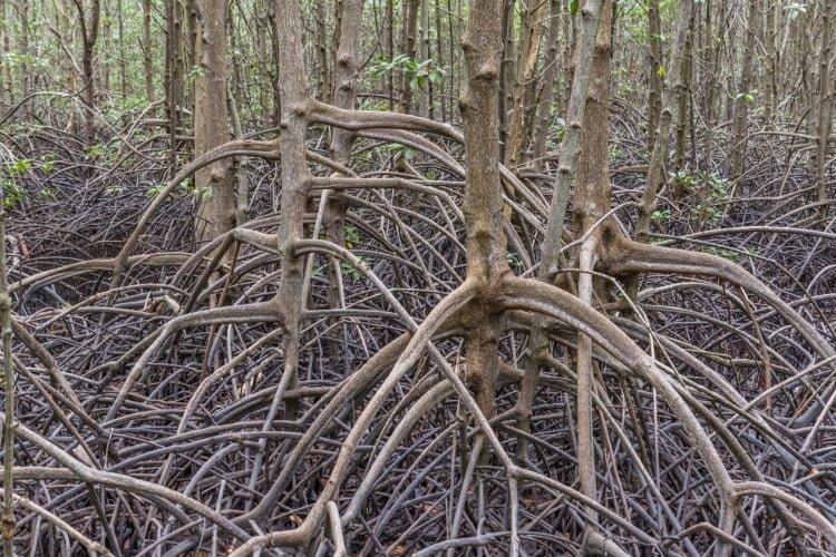 racines mangrove khung kraben - chao lao - chanthaburi